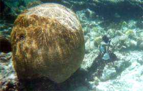 Giant brain coral off the beach at Turtle Nest Inn, Grand Cayman.